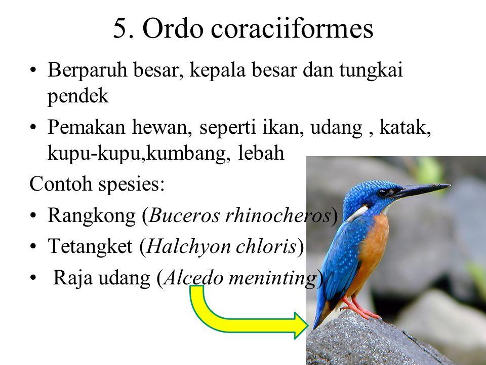 5. Ordo coraciiformes Berparuh besar, kepala besar dan tungkai pendek
