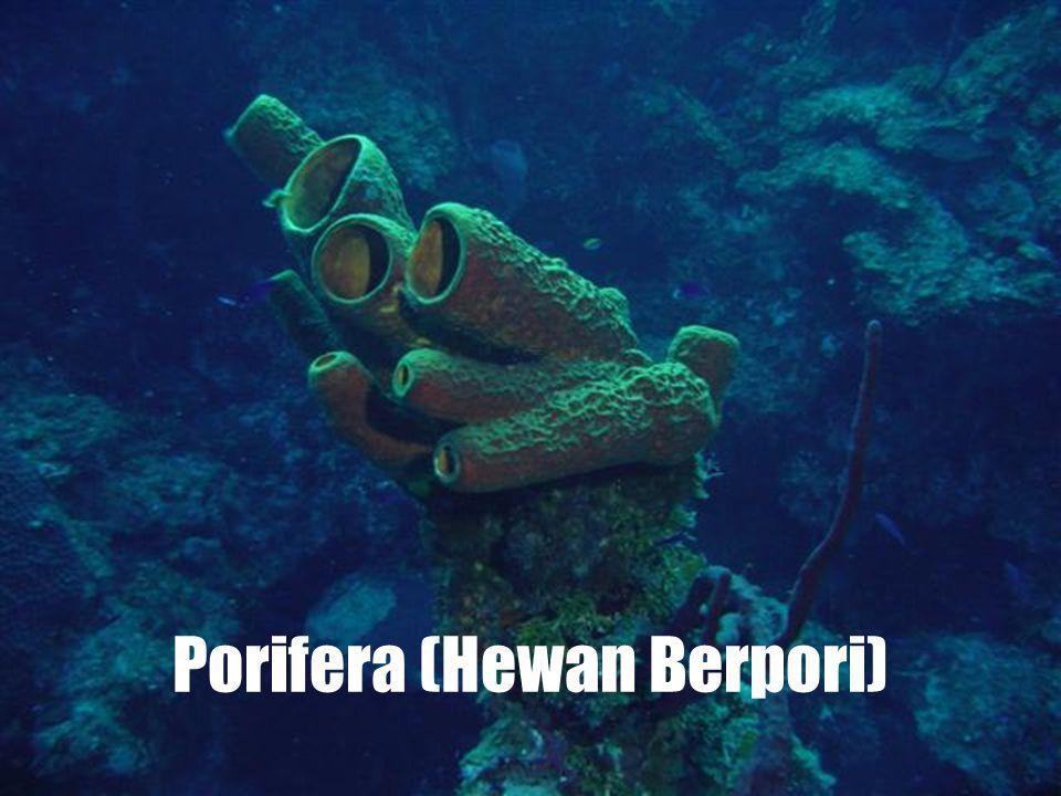Porifera (Hewan Berpori)