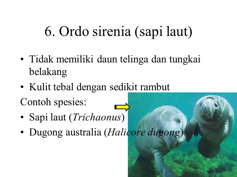 6. Ordo sirenia (sapi laut)