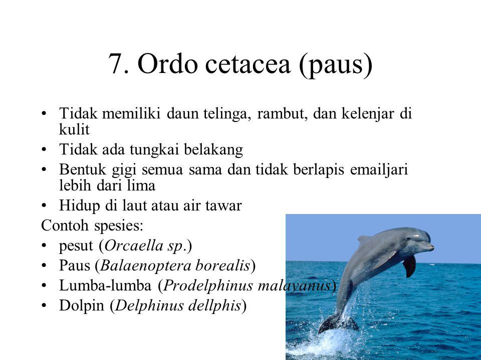 7. Ordo cetacea (paus) Tidak memiliki daun telinga, rambut, dan kelenjar di kulit. Tidak ada tungkai belakang.