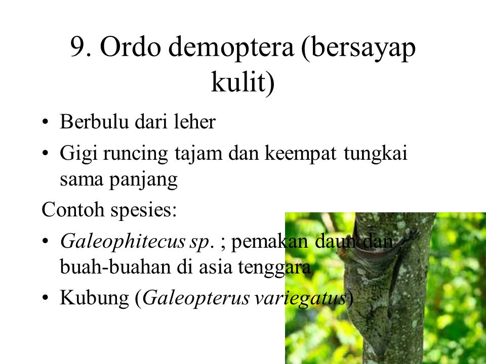 9. Ordo demoptera (bersayap kulit)