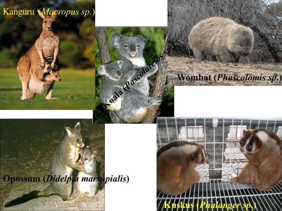 Kanguru (Macropus sp.) Koala (Pascolarctos sp.) Wombat (Phascolomis sp.) Opossum (Didelpia marsupialis)