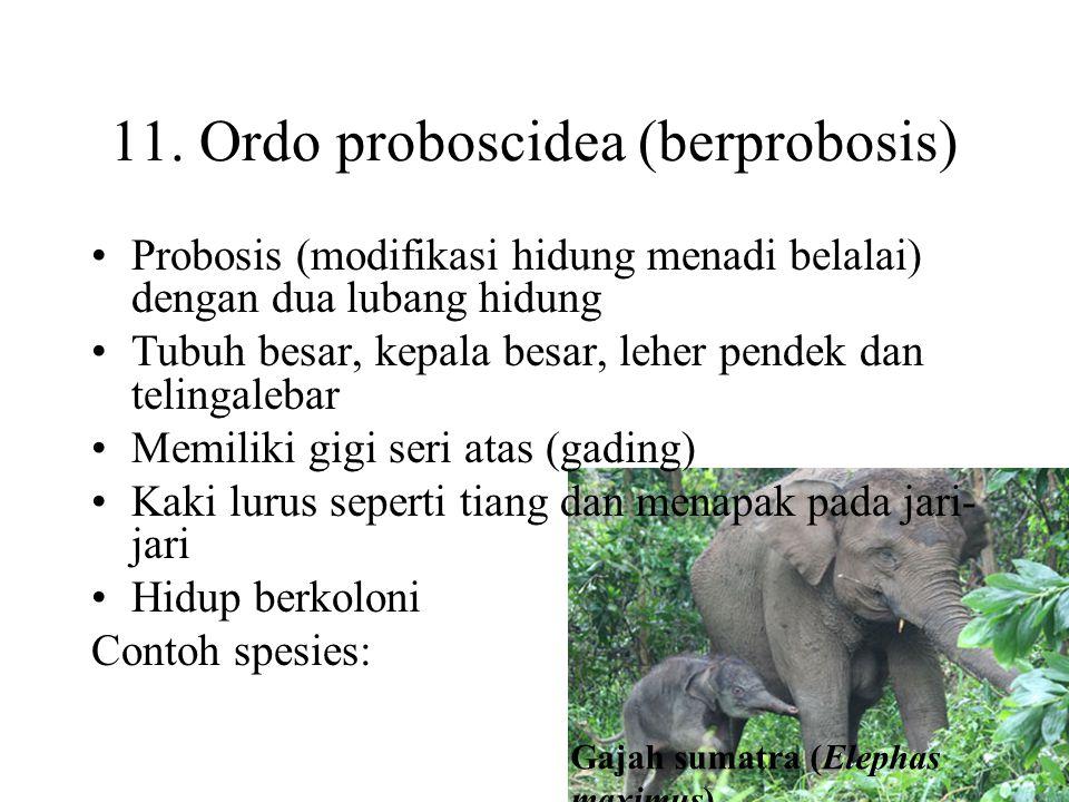 11. Ordo proboscidea (berprobosis)