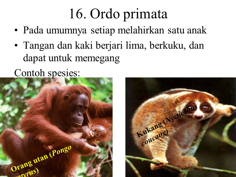 16. Ordo primata Pada umumnya setiap melahirkan satu anak