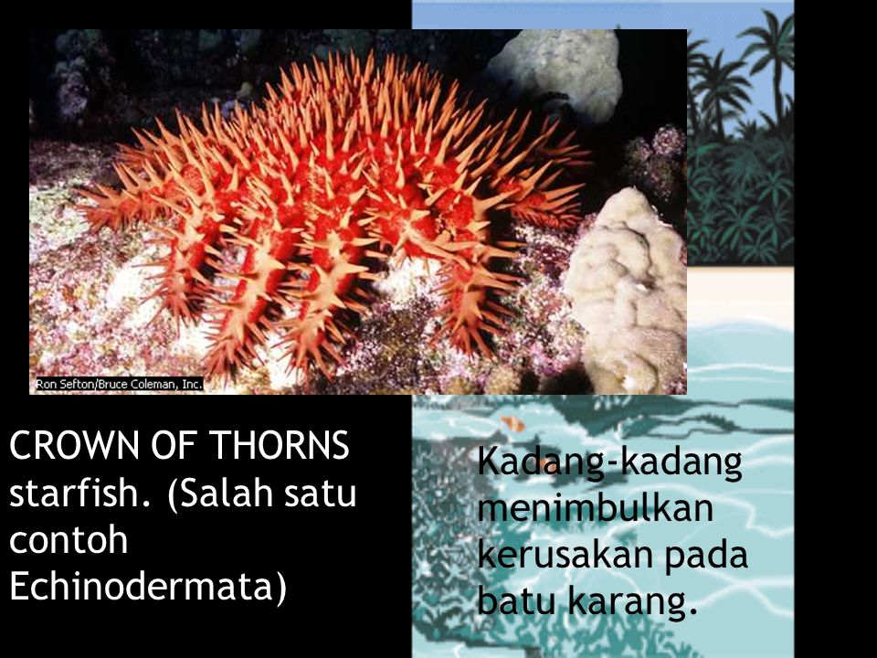 Bintang Duri Kadang-kadang menimbulkan kerusakan pada batu karang.