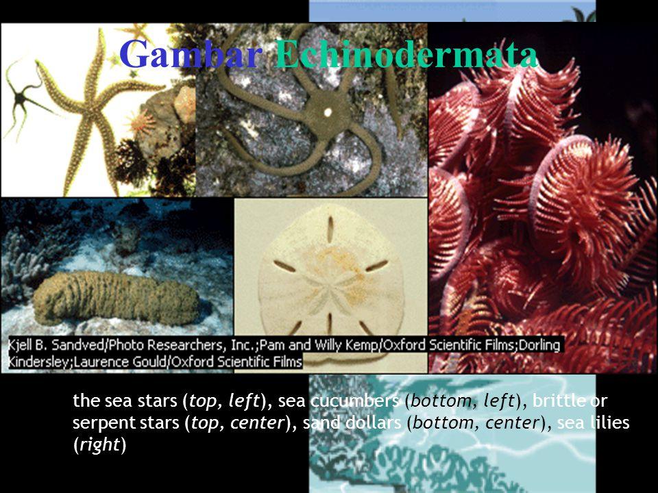 Gambar Echinodermata