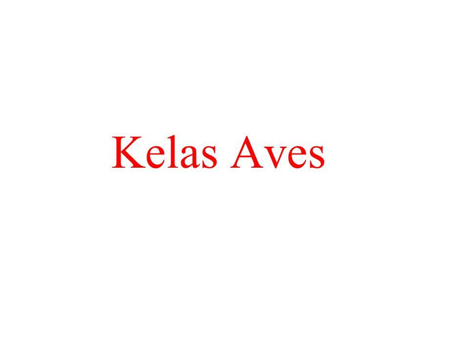Kelas Aves