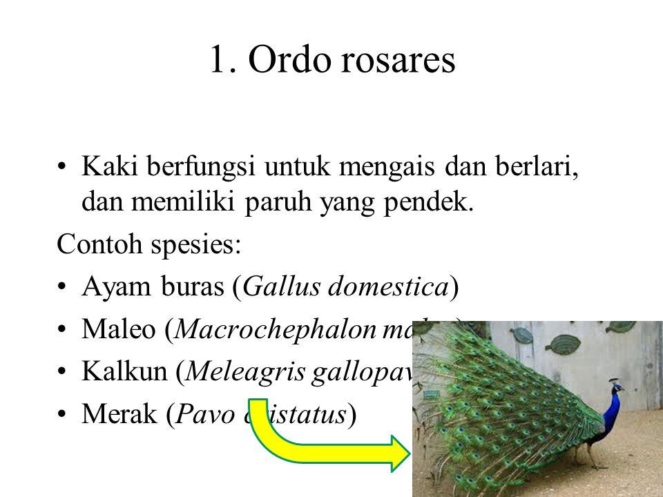 1. Ordo rosares Kaki berfungsi untuk mengais dan berlari, dan memiliki paruh yang pendek. Contoh spesies: