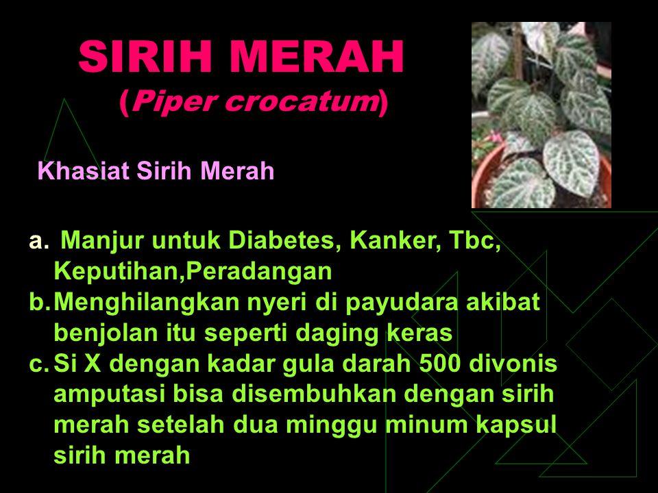 SIRIH MERAH (Piper crocatum)