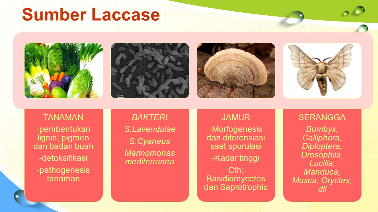 Sumber Laccase TANAMAN -pembentukan lignin, pigmen dan badan buah
