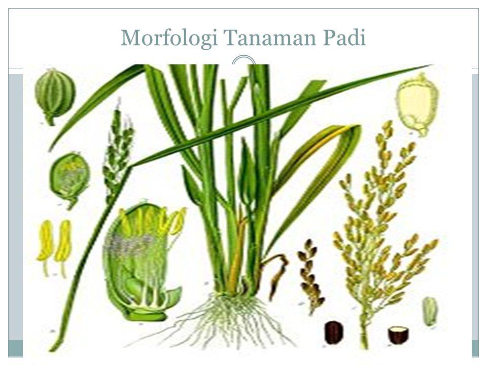Morfologi Tanaman Padi