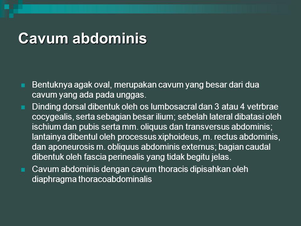 Cavum abdominis Bentuknya agak oval, merupakan cavum yang besar dari dua cavum yang ada pada unggas.