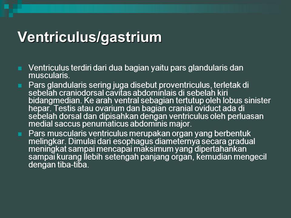 Ventriculus/gastrium