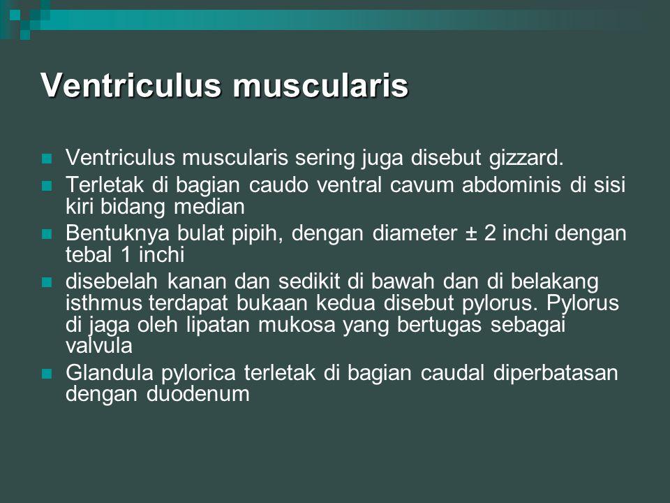 Ventriculus muscularis