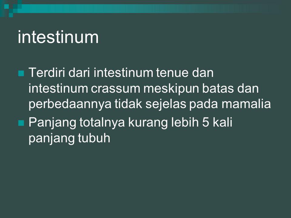 intestinum Terdiri dari intestinum tenue dan intestinum crassum meskipun batas dan perbedaannya tidak sejelas pada mamalia.