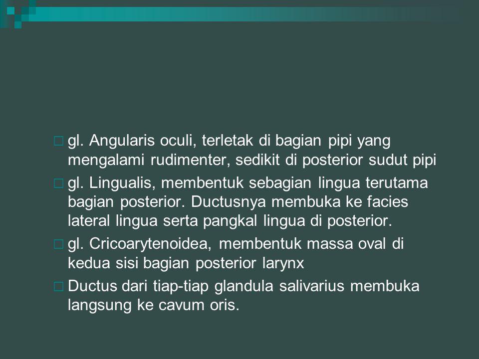 gl. Angularis oculi, terletak di bagian pipi yang mengalami rudimenter, sedikit di posterior sudut pipi