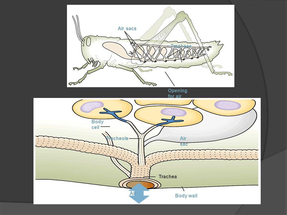 Air sacs Tracheae Opening for air Body cell Tracheole Air sac Trachea Air Body wall