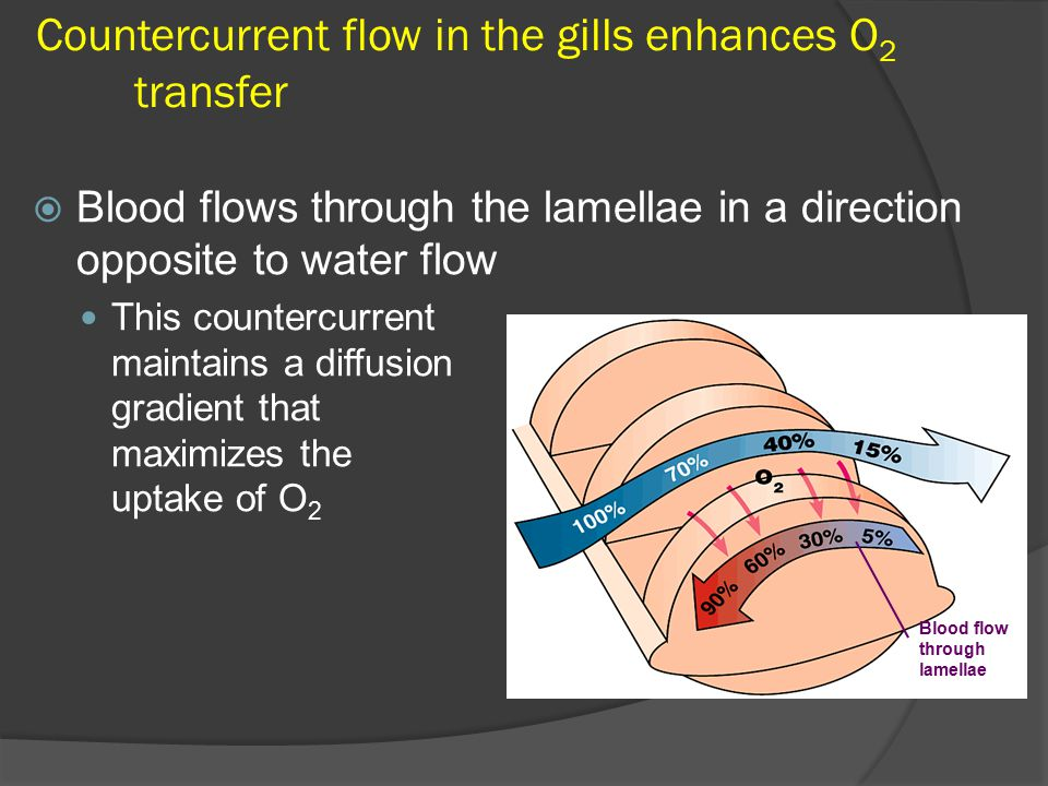 Countercurrent flow in the gills enhances O2 transfer