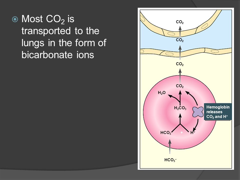 Most CO2 is transported to the lungs in the form of bicarbonate ions