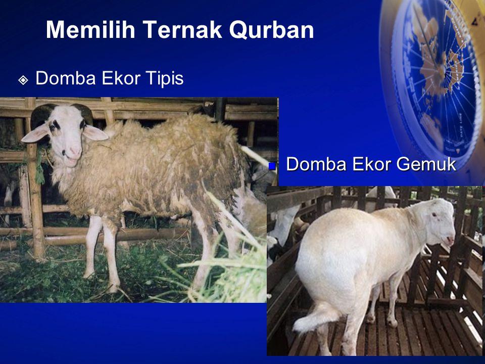 Memilih Ternak Qurban Domba Ekor Tipis Domba Ekor Gemuk