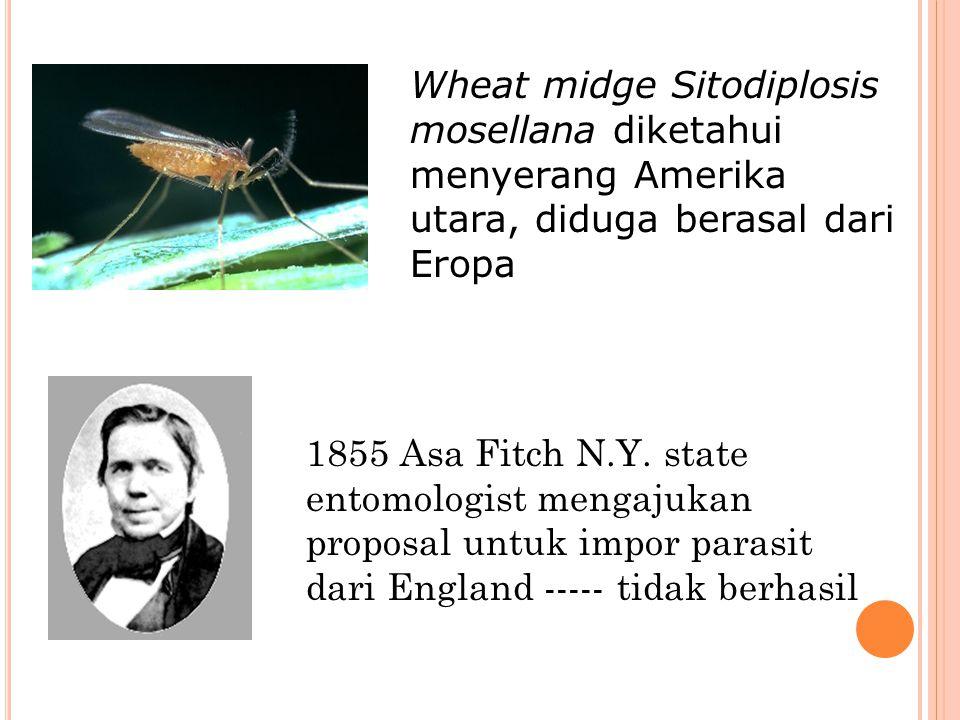 Wheat midge Sitodiplosis mosellana diketahui menyerang Amerika utara, diduga berasal dari Eropa