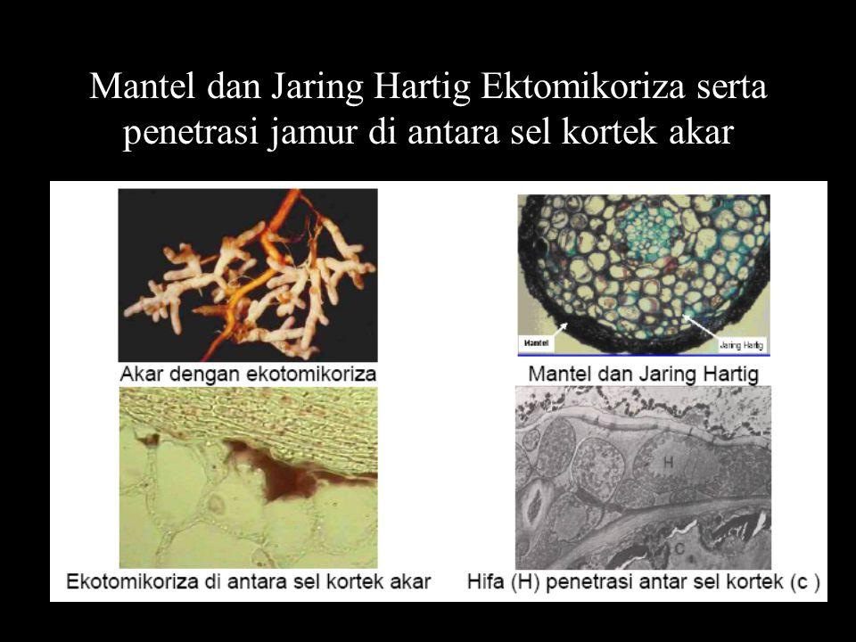 Mantel dan Jaring Hartig Ektomikoriza serta penetrasi jamur di antara sel kortek akar