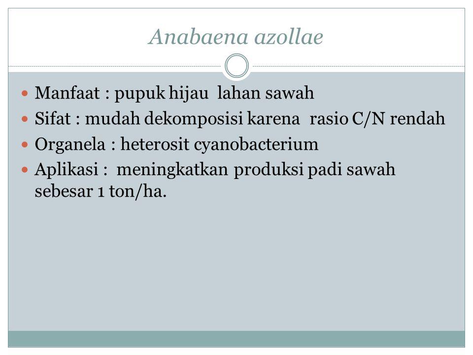 Anabaena azollae Manfaat : pupuk hijau lahan sawah