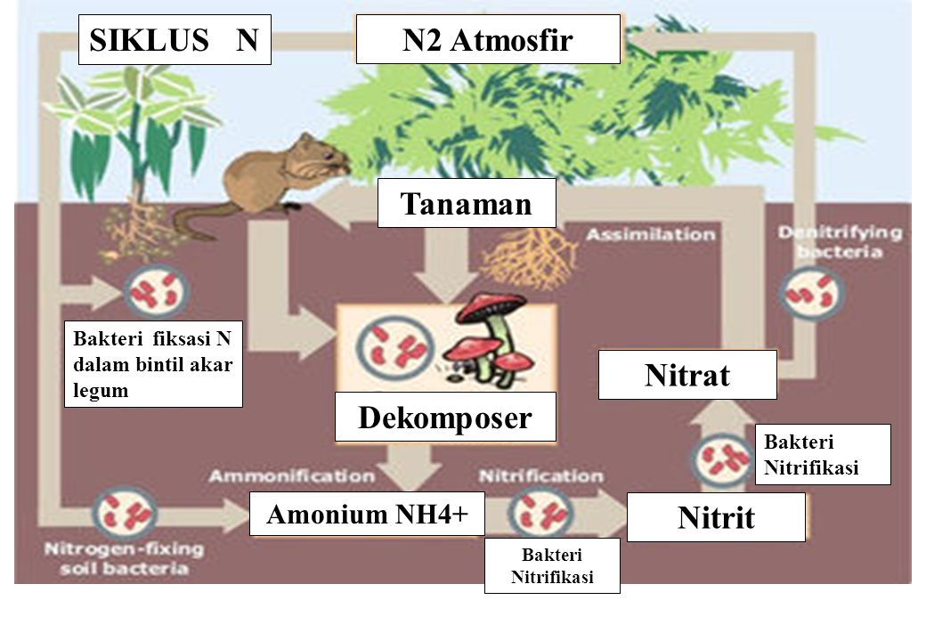 SIKLUS N N2 Atmosfir Tanaman Nitrat Dekomposer Nitrit