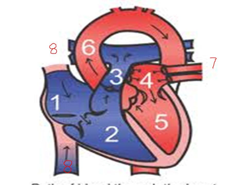 Ruang-Ruang Jantung 1: atrium kanan 2: ventrikel kanan