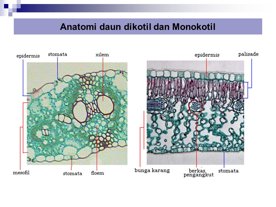 Anatomi daun dikotil dan Monokotil