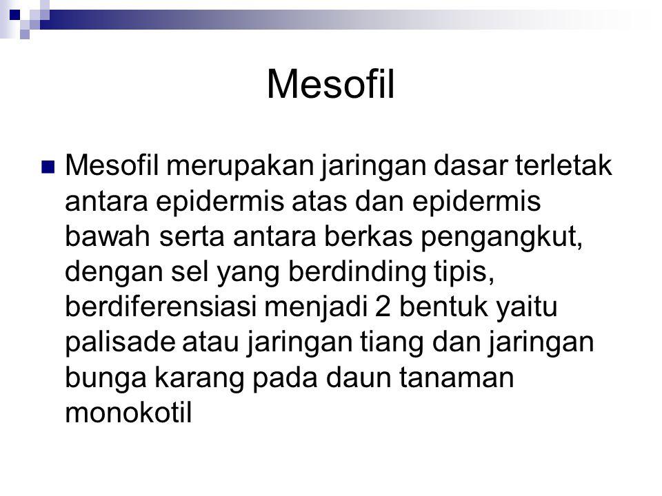 Mesofil