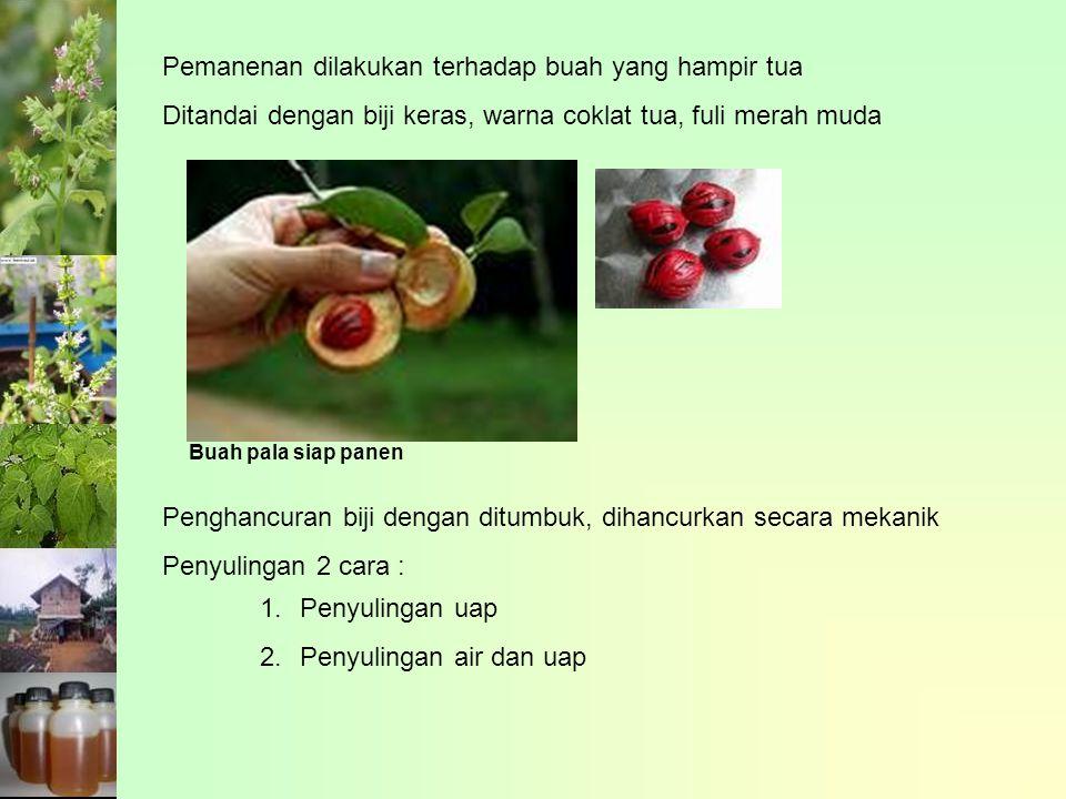 Pemanenan dilakukan terhadap buah yang hampir tua