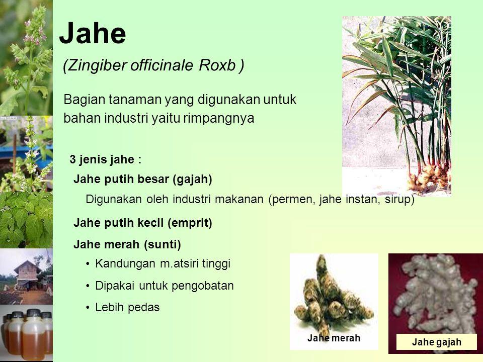 Jahe (Zingiber officinale Roxb )