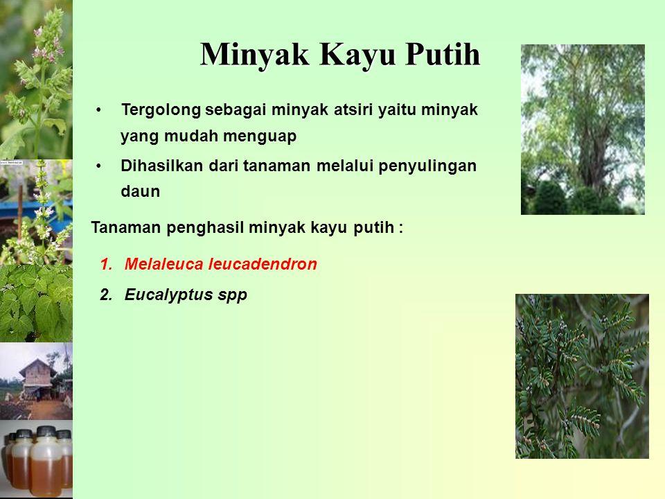 Minyak Kayu Putih Tergolong sebagai minyak atsiri yaitu minyak yang mudah menguap. Dihasilkan dari tanaman melalui penyulingan daun.