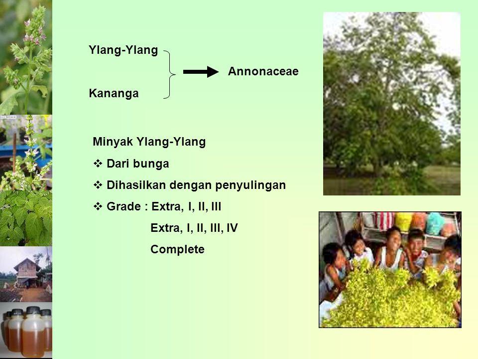 Ylang-Ylang Kananga. Annonaceae. Minyak Ylang-Ylang. Dari bunga. Dihasilkan dengan penyulingan.