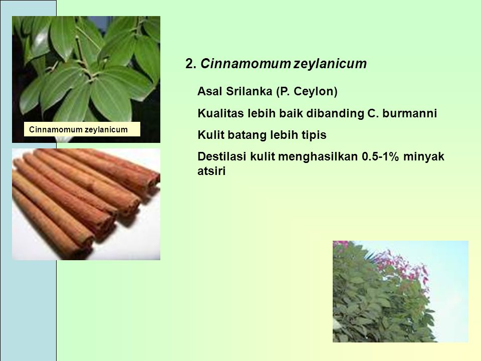 2. Cinnamomum zeylanicum