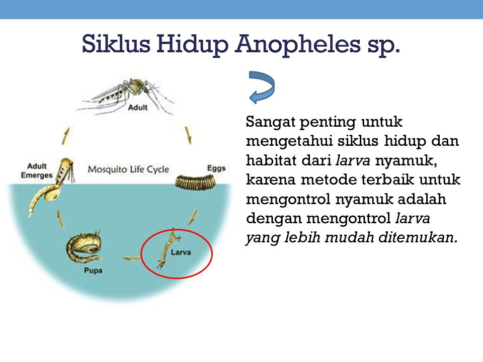 Siklus Hidup Anopheles sp.