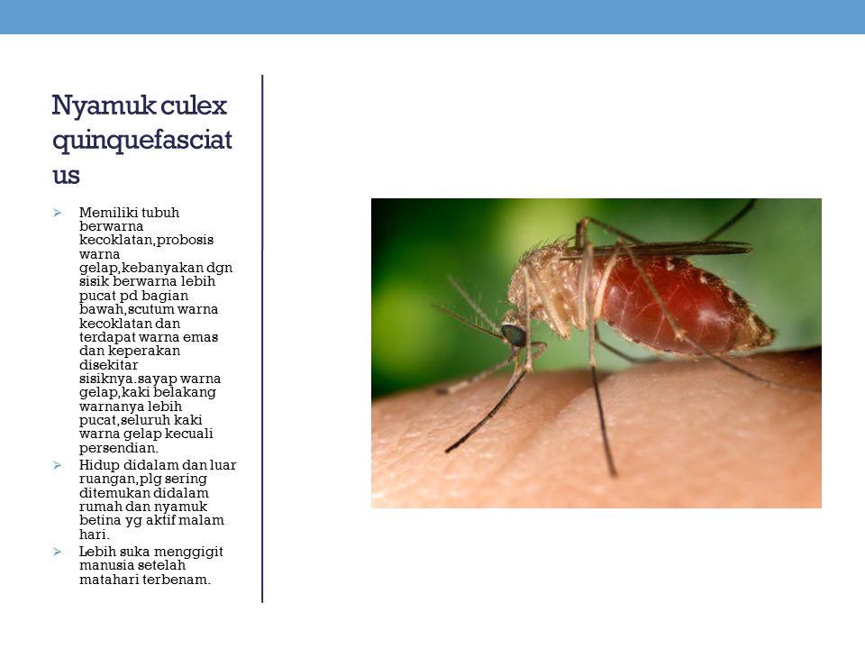 Nyamuk culex quinquefasciatus