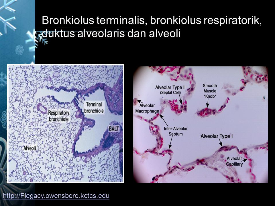 Bronkiolus terminalis, bronkiolus respiratorik, duktus alveolaris dan alveoli