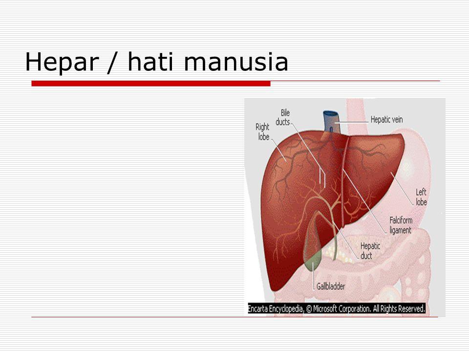 Hepar / hati manusia