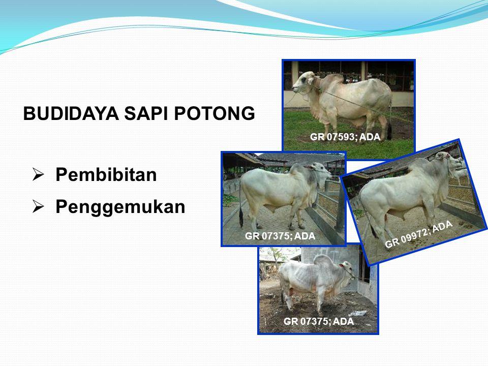 BUDIDAYA SAPI POTONG Pembibitan Penggemukan GR 07593; ADA
