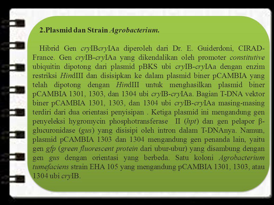 2.Plasmid dan Strain Agrobacterium.