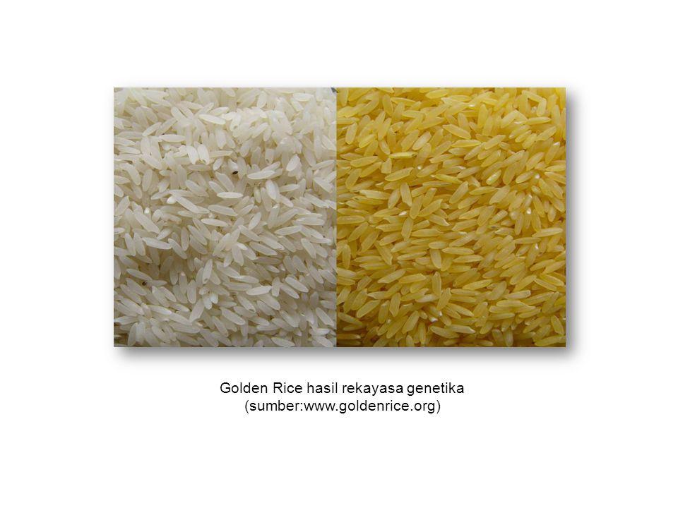 Golden Rice hasil rekayasa genetika (sumber:www.goldenrice.org)