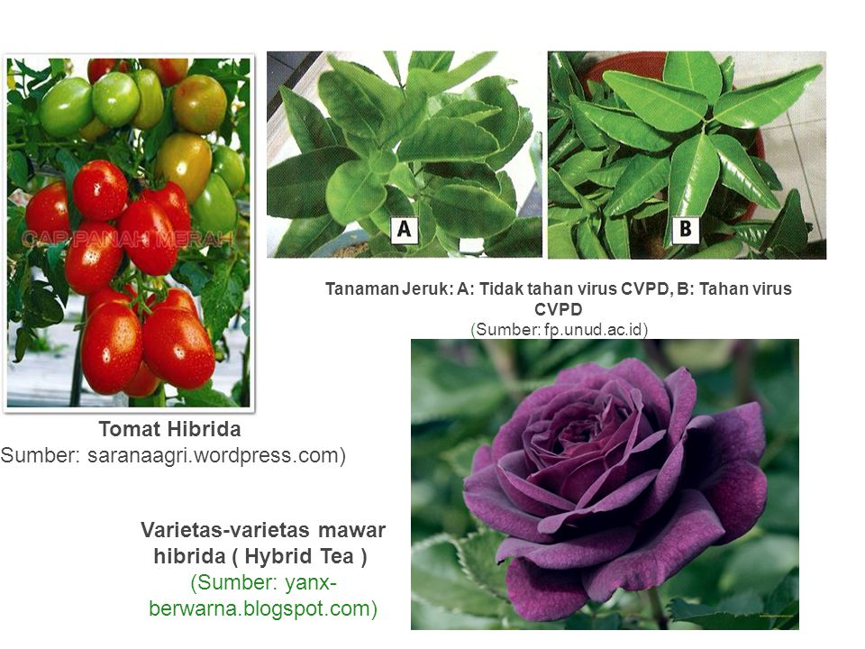 Tomat Hibrida Varietas-varietas mawar hibrida ( Hybrid Tea )