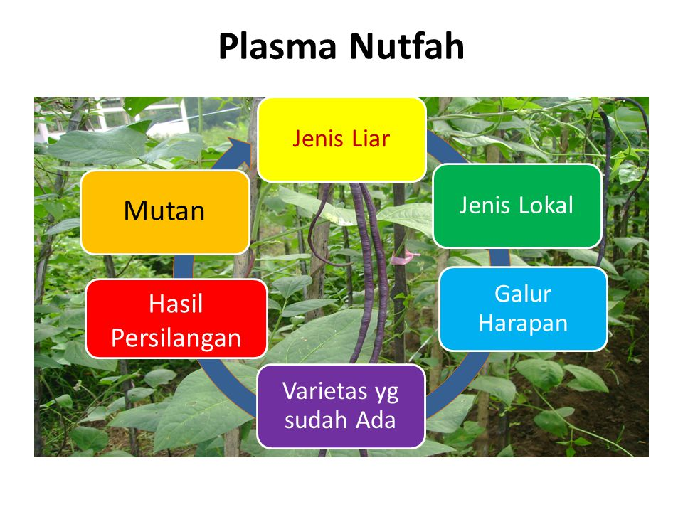 Plasma Nutfah Mutan Hasil Persilangan Jenis Liar Jenis Lokal