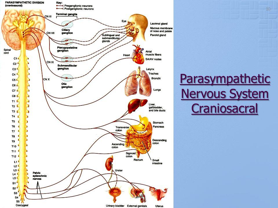 Parasympathetic Nervous System Craniosacral