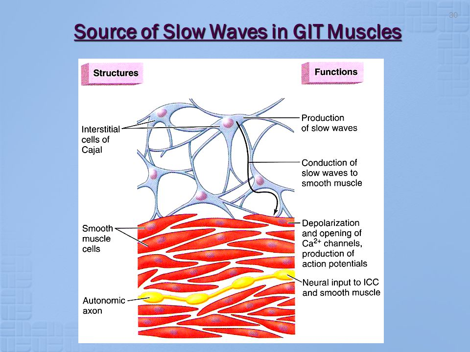 Source of Slow Waves in GIT Muscles