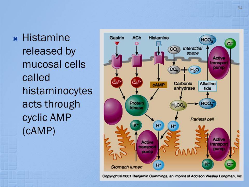 Histamine released by mucosal cells called histaminocytes acts through cyclic AMP (cAMP)