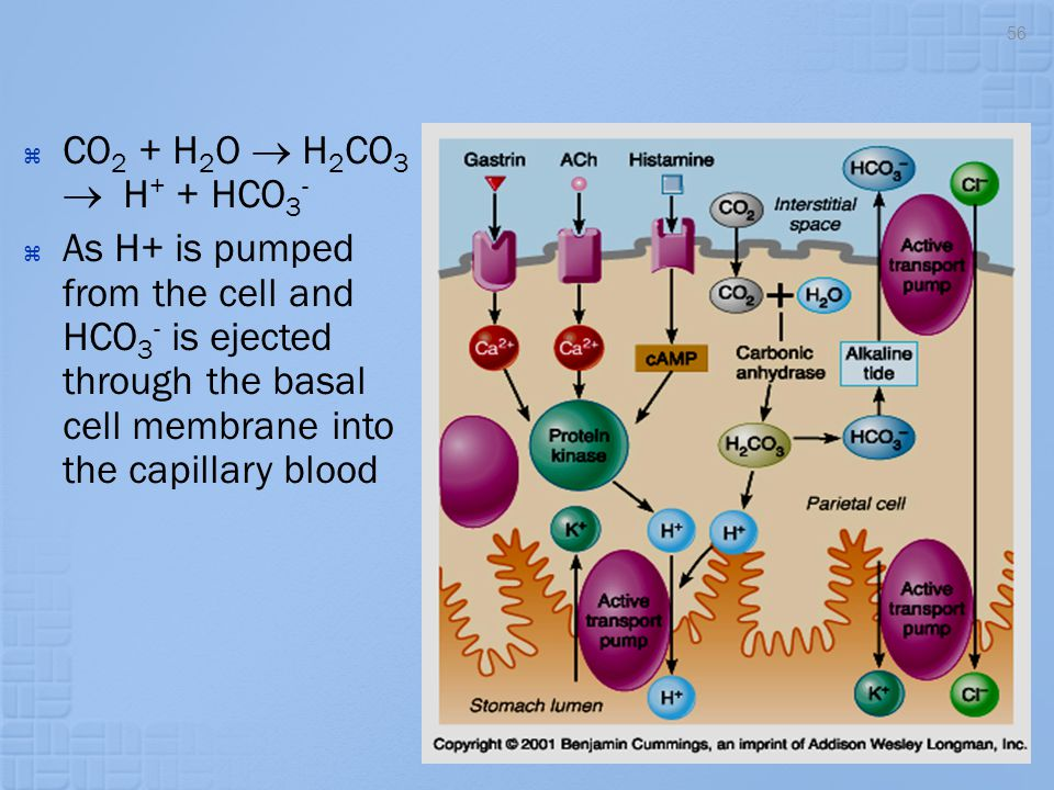 CO2 + H2O  H2CO3  H+ + HCO3- As H+ is pumped from the cell and HCO3- is ejected through the basal cell membrane into the capillary blood.