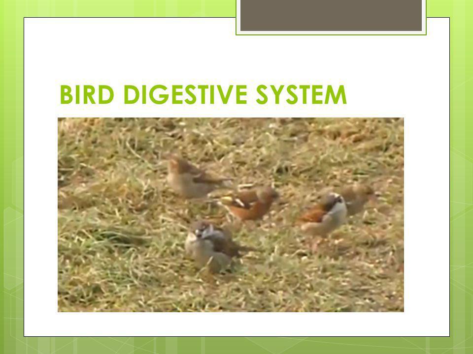 BIRD DIGESTIVE SYSTEM